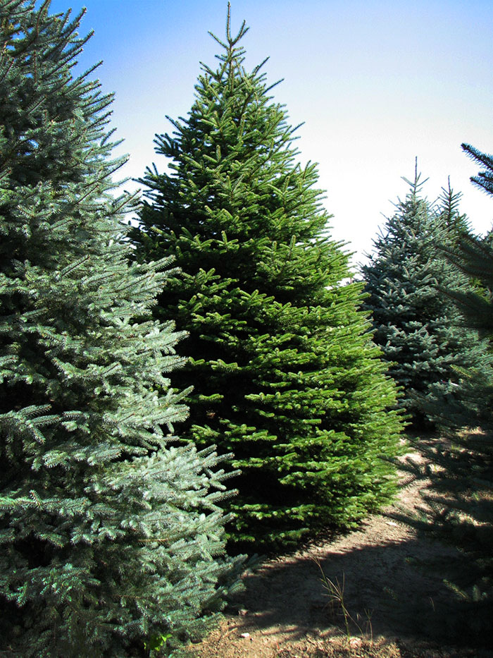 Blue Spruce rows